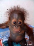 Animale - Maimuta haioasa